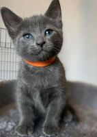 Russian Blue Cats for sale in Sanatoga, PA 19464, USA. price: NA