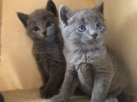Russian Blue Cats for sale in Boise, ID, USA. price: NA