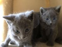 Russian Blue Cats for sale in Toledo, OH, USA. price: NA