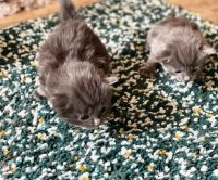 Russian Blue Cats for sale in New Orleans, LA, USA. price: NA
