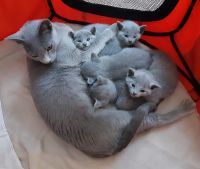 Russian Blue Cats for sale in West Hollywood, CA 90048, USA. price: NA