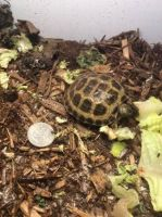 Russian Tortoise Reptiles for sale in Agua Dulce, CA 91390, USA. price: NA