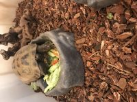 Russian Tortoise Reptiles for sale in Novi, MI, USA. price: NA