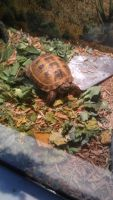 Russian Tortoise Reptiles for sale in Detroit, MI, USA. price: NA