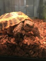 Russian Tortoise Reptiles for sale in Orlando, FL, USA. price: NA