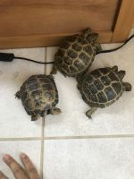 Russian Tortoise Reptiles for sale in Elk Grove, CA, USA. price: NA