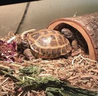 Russian Tortoise Reptiles for sale in Springfield, OH, USA. price: NA