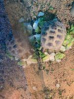Russian Tortoise Reptiles Photos