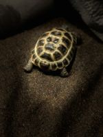 Russian Tortoise Reptiles for sale in St Ann, MO, USA. price: NA
