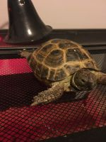 Russian Tortoise Reptiles for sale in 524 NE Sunnybrook Dr, Blue Springs, MO 64014, USA. price: NA