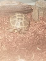 Russian Tortoise Reptiles for sale in North St Paul, MN 55109, USA. price: NA