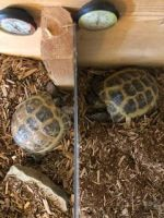 Russian Tortoise Reptiles for sale in Indianapolis, IN, USA. price: NA