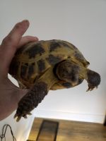 Russian Tortoise Reptiles for sale in Reading, PA 19602, USA. price: NA