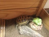 Russian Tortoise Reptiles for sale in Minneapolis, MN, USA. price: NA