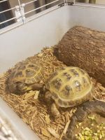 Russian Tortoise Reptiles for sale in Hamburg, PA 19526, USA. price: NA