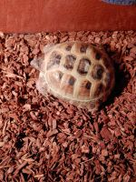 Russian Tortoise Reptiles for sale in Boise, ID, USA. price: NA