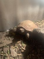 Russian Tortoise Reptiles for sale in Allentown, PA, USA. price: NA