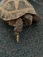 Russian Tortoise Reptiles for sale in Grand Rapids, MI, USA. price: NA