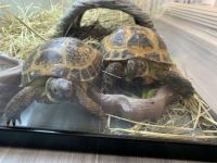 Russian Tortoise Reptiles for sale in Dana Point, CA, USA. price: NA