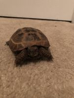 Russian Tortoise Reptiles for sale in Atlanta, GA, USA. price: NA