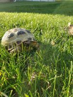 Russian Tortoise Reptiles for sale in Chalet Ln, Library, PA 15129, USA. price: NA