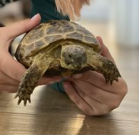 Russian Tortoise Reptiles for sale in Greenfield, IN 46140, USA. price: NA