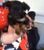 Russian Toy Terrier Puppies for sale in Beaumont, TX, USA. price: NA