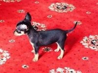 Russian Toy Terrier Puppies for sale in Columbus, OH, USA. price: NA