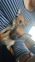 Russian Toy Terrier Puppies for sale in Terminal Dr, Nashville, TN 37214, USA. price: NA