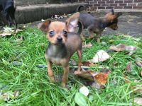 Russian Toy Terrier Puppies for sale in Myrtle Beach, SC 29588, USA. price: NA