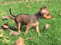 Russian Toy Terrier Puppies Photos
