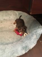 Russian Toy Terrier Puppies for sale in San Antonio, TX, USA. price: NA