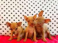 Russian Toy Terrier Puppies for sale in Brooklyn, NY, USA. price: NA