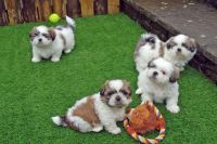 Saarlooswolfhond Puppies for sale in Dallas, TX, USA. price: NA