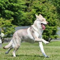saarlooswolfhond dog