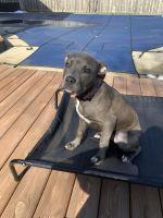 Sabueso Espanol Puppies for sale in Carmel, IN, USA. price: NA