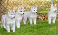 Sakhalin Husky Puppies for sale in Birmingham, AL, USA. price: NA