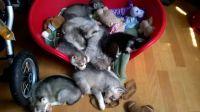 Sakhalin Husky Puppies for sale in Abilene, TX, USA. price: NA