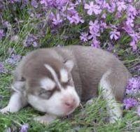 Sakhalin Husky Puppies for sale in Gilbert, AZ, USA. price: NA