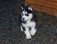 Sakhalin Husky Puppies for sale in Adak, AK, USA. price: NA