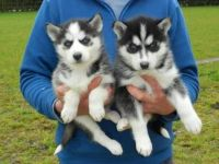 Sakhalin Husky Puppies for sale in Antioch, CA, USA. price: NA