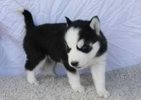 Sakhalin Husky Puppies for sale in Montgomery, AL, USA. price: NA