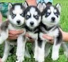 Sakhalin Husky Puppies for sale in Fort Collins, CO, USA. price: NA