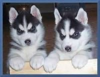 Sakhalin Husky Puppies for sale in Clark's Point, AK, USA. price: NA