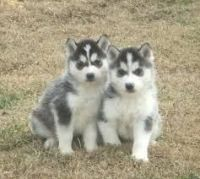 Sakhalin Husky Puppies for sale in Little Rock, AR, USA. price: NA