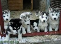 Sakhalin Husky Puppies for sale in Hartford, CT, USA. price: NA