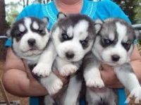 Sakhalin Husky Puppies for sale in Jacksonville, FL, USA. price: NA