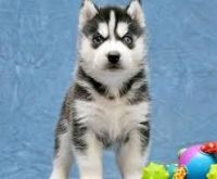 Sakhalin Husky Puppies for sale in Davenport, IA, USA. price: NA