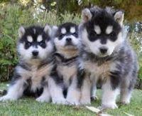 Sakhalin Husky Puppies for sale in Lafayette, LA, USA. price: NA