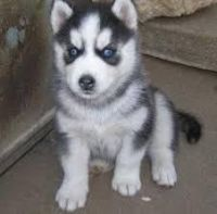 Sakhalin Husky Puppies for sale in Freeport, ME 04032, USA. price: NA